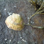 Limpet snacking on a piece of Ascophyllum