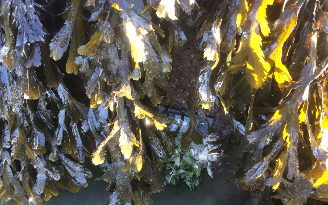 European seaweeds under pressure
