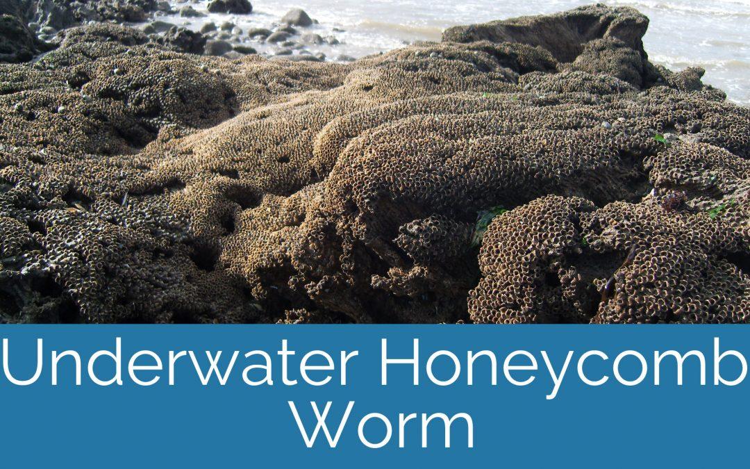 What happens when Sabellaria is underwater?