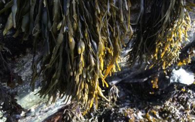 Habitat modification by Ascophyllum canopy negatively impacts macrofaunal communities on soft-sediment shores