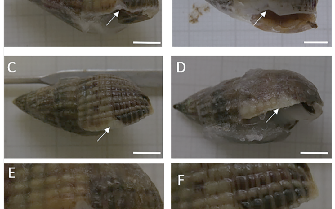 Sub-lethal predatory shell damage does not affect physiology under high CO2 in the intertidal gastropod Tritia reticulata